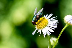 Fly on a daisy Royalty Free Stock Photography
