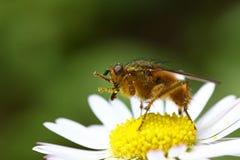 Fly on a daisy Royalty Free Stock Photo