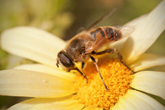 Fly on daisy flower. Fly feeding with pollen on yellow daisy flower Royalty Free Stock Image