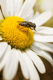 Fly on daisy flower Stock Images