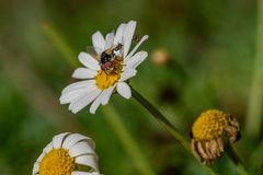 Large fly collecting nectar with smaller flies reproducing. Fly on daisy flower collecting nectar pollen with a pair of flies mating on a white petal leaf stock photos