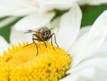 Fly in daisy flower Stock Photos