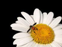 Fly On Daisy Macro Royalty Free Stock Photography