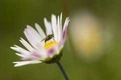 Fly on daisy Stock Photography