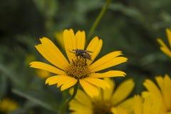 Fly on daisy Stock Image