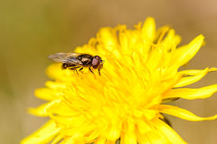 Fly on dandelion Royalty Free Stock Photos