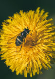 Fly on the dandelion Royalty Free Stock Photography
