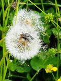 Fly on a dandelion Royalty Free Stock Photo
