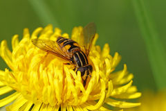 Fly on a dandelion flower Royalty Free Stock Photography