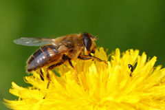 Fly on a dandelion flower Royalty Free Stock Photo