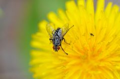 Fly on a Dandilion Stock Image