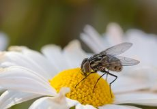Fly on dasiy. A common house fly sipping nectar from a white daisy stock photo