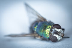 A fly, dead. Closeup on the eyes of a dead fly Stock Photography