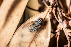 Fly on dead leaf Stock Photo