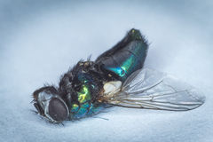 A fly, dead. A macro shot of a dead fly Royalty Free Stock Images