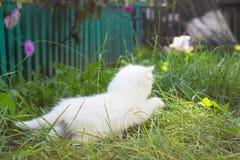Fly den vita kattungen royaltyfri bild