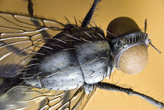 Fly. Detailed model of a housefly Stock Photos