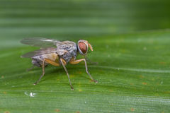 A fly, diptera Royalty Free Stock Images