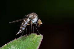 A fly/diptera - curtonotidae axinota Stock Photos