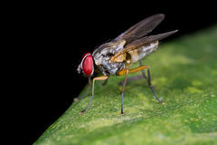 A fly, diptera on green leaf Royalty Free Stock Photo
