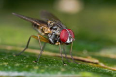 A fly, diptera on green leaf Stock Photos