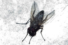 Fly on a dirty background Royalty Free Stock Photo