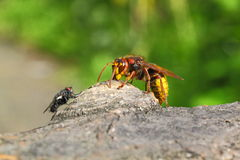 Fly, do not come!. This Hornet, strong and beautiful insect, bees are much larger. Hunts for other insects, including bees. But sometimes likes to eat sweets Stock Images