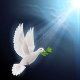 Fly dove in sunlight Royalty Free Stock Photos