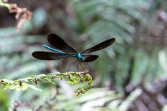 Dragonfly wings on a leaf royalty free stock photo