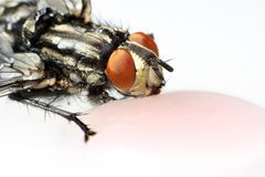 Fly drink Royalty Free Stock Image