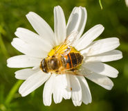 Fly drinking nectar on a wild white flower Stock Photo