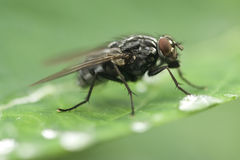 Fly drinking water Stock Photography