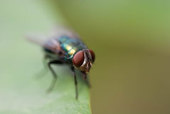 Fly drinking water Stock Images