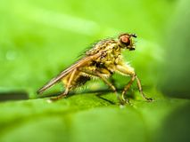 Fly, Dung Fly, Nature, Animal Stock Images