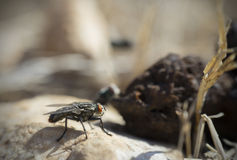 Fly and Dung Stock Images