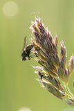 Fly on ear of grass Stock Photography