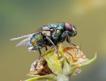 Fly on the ear Royalty Free Stock Images