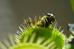 Fly eaten by carnivorous plant. Fly is eaten by carnivorous green plant Stock Image