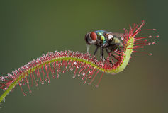 Fly eaten by plant Royalty Free Stock Photos