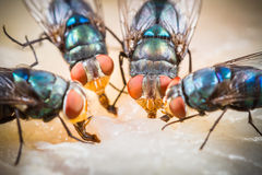 Fly eating dried fish Royalty Free Stock Photo