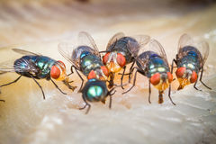 Fly eating dried fish Royalty Free Stock Photos