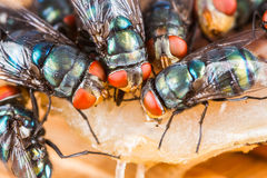 Fly eating dried fish Royalty Free Stock Photography