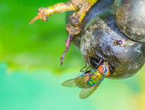 Fly eating from grape in my backyard Stock Photography