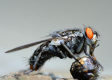Fly Eating. Royalty Free Stock Photo