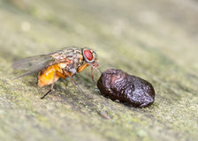 Fly Eating Royalty Free Stock Photography