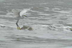 The fly of ecuadorian white heron on pacific ocean Royalty Free Stock Photo