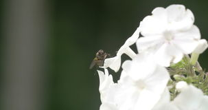 A fly on the edge of the white flower stock video footage
