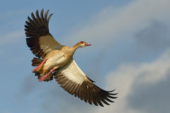 Fly by. Egyptian Goose flying over natural waterpan in South Africa Stock Image
