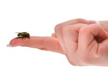 Fly on end of finger Royalty Free Stock Photo