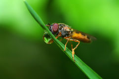 Fly (Episyrphus balteatus) Royalty Free Stock Photography